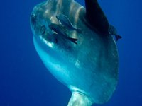 Bump-head Sunfish, Mola alexandrini.
