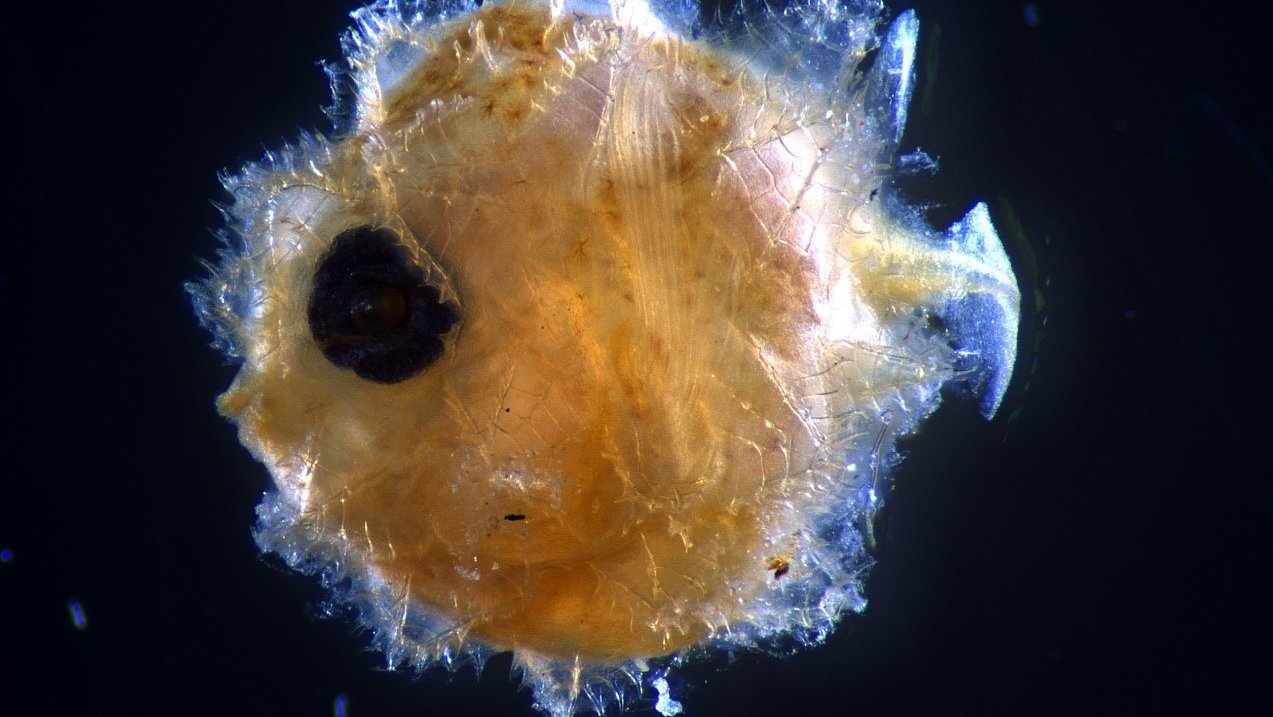 Larval sunfish Mola species AMS I.29346-002.