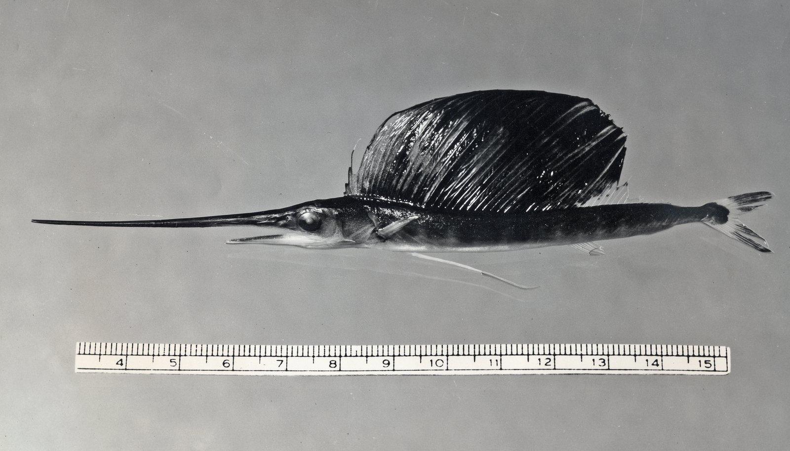 Juvenile Indo-Pacific Sailfish, <i>Istiophorus platypterus</i>