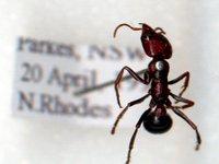 Iridomyrmex purpereus