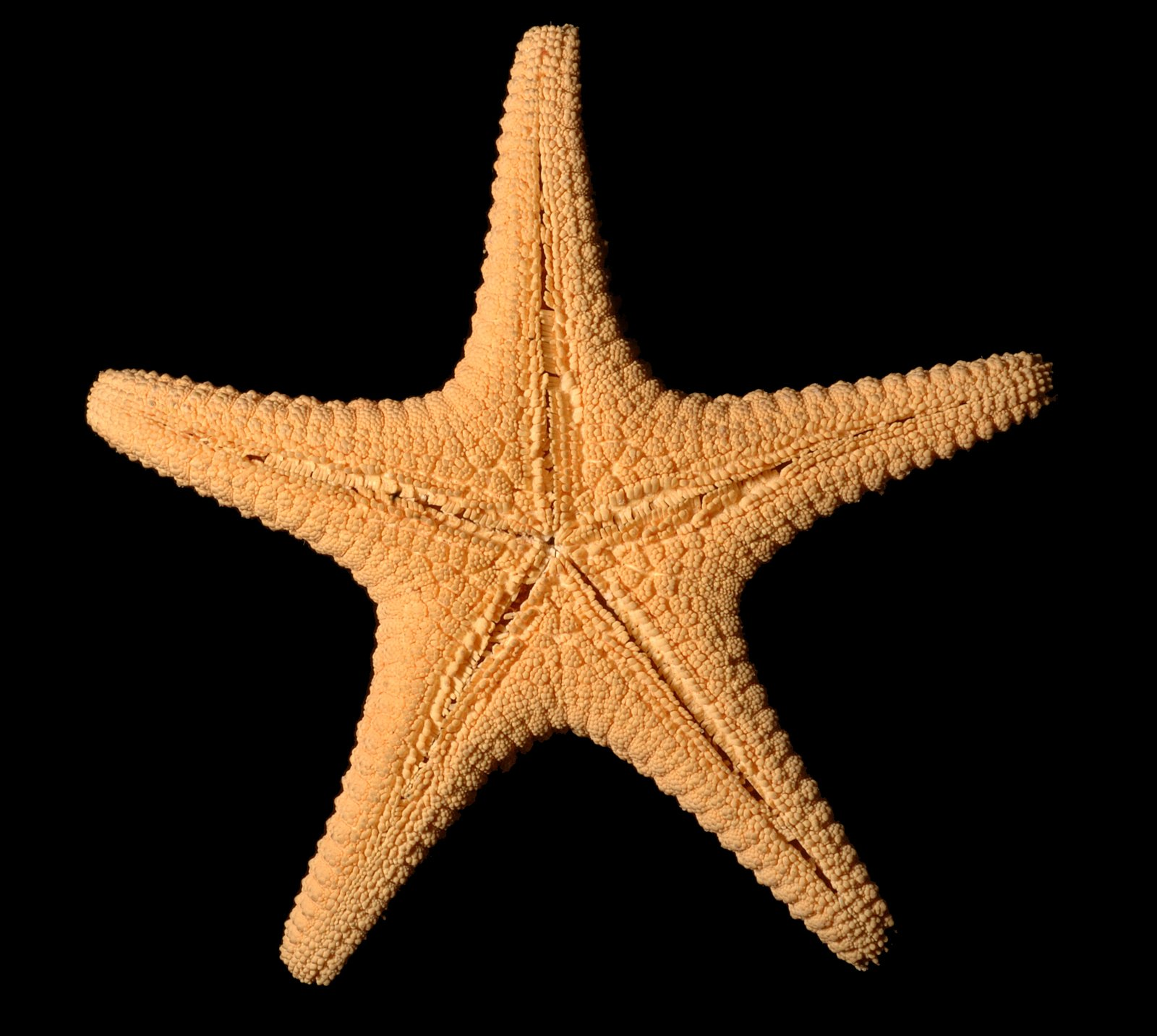 J7743 Nectria ocellata