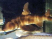 Japanese Bullhead Shark, <i>Heterodontus japonicus</i>