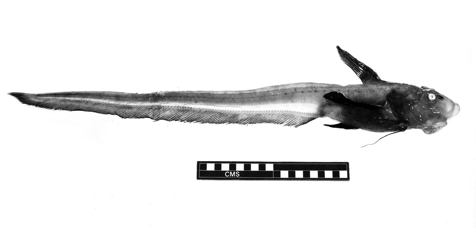 Jellynose Fish, Ateleopus sp