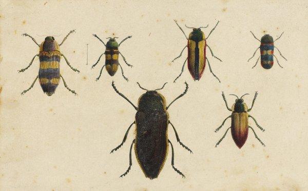 Jewel beetles by Gerard Krefft