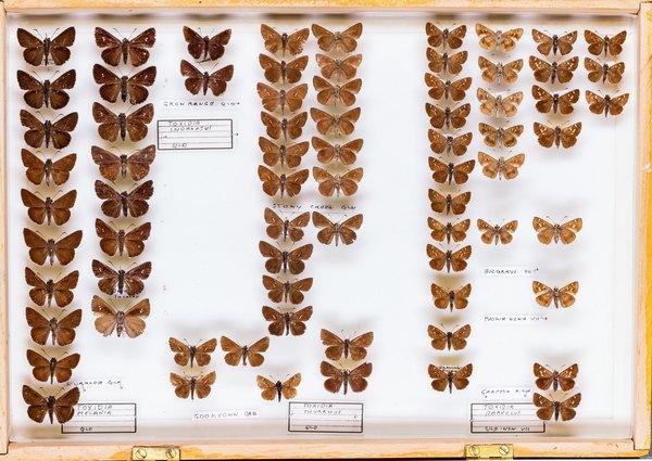 John Landy Butterflies Drawer 10 - 1