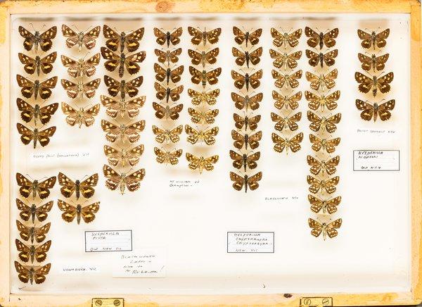 John Landy Butterflies Drawer 12 - 1