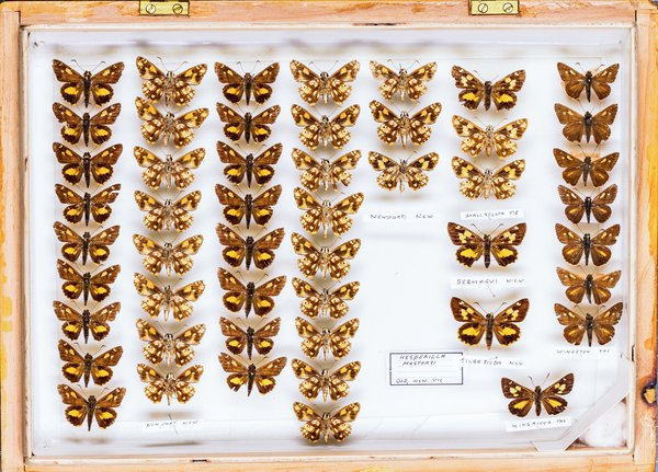 John Landy Butterflies Drawer 13 - 2