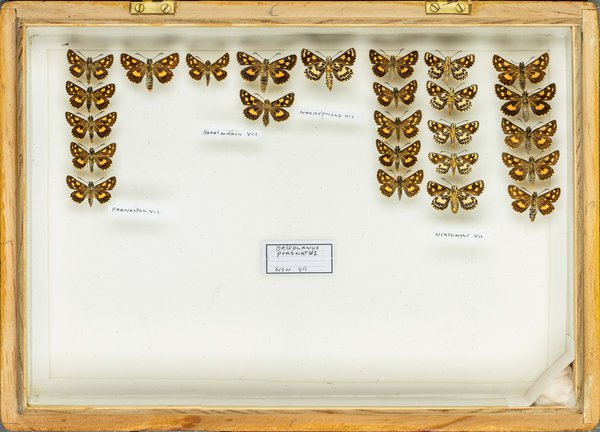 John Landy Butterflies Drawer 14 - 2