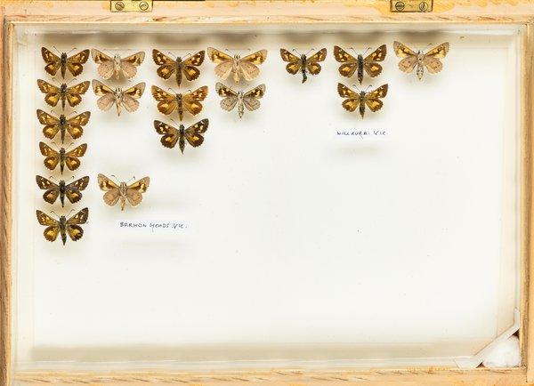 John Landy Butterflies Drawer 15 - 2