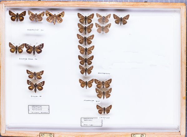 John Landy Butterflies Drawer 17 - 1