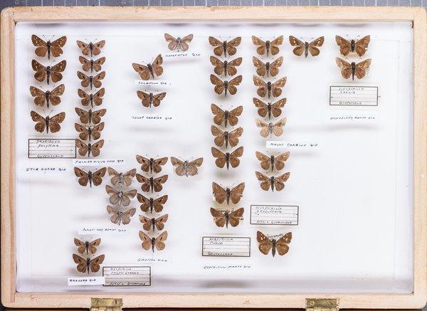 John Landy Butterflies Drawer 18 - 1