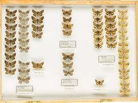 John Landy Butterflies Drawer 19 - 1