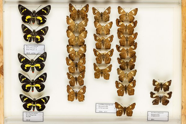 John Landy Butterflies Drawer 1 - 1