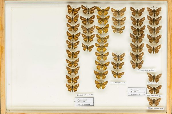 John Landy Butterflies Drawer 25 - 1
