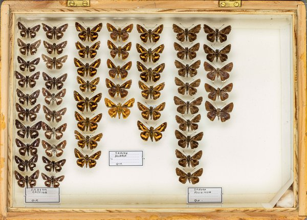 John Landy Butterflies Drawer 25 - 2