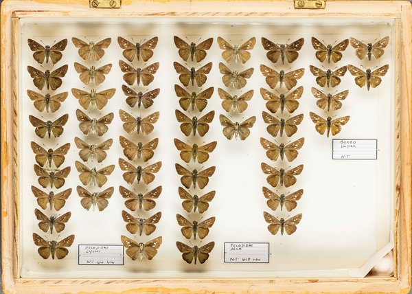 John Landy Butterflies Drawer 26 -1