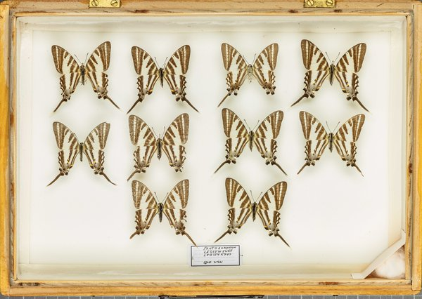 John Landy Butterflies Drawer 27 - 2