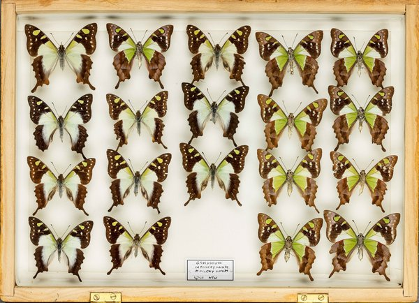 John Landy Butterflies Drawer 28 - 1