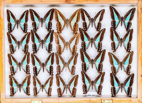 John Landy Butterflies Drawer 29 - 1
