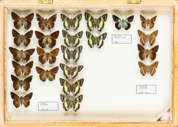 John Landy Butterflies Drawer 2 - 2