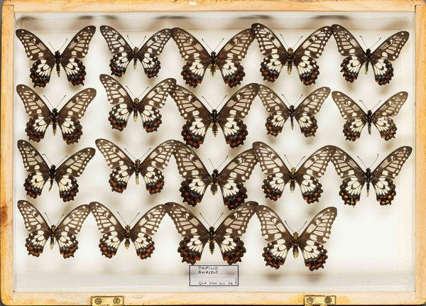 John Landy Butterflies Drawer 30 - 1