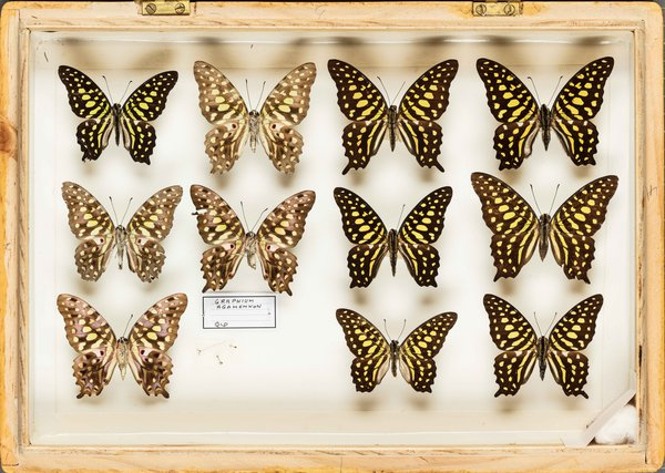 John Landy Butterflies Drawer 30 - 2