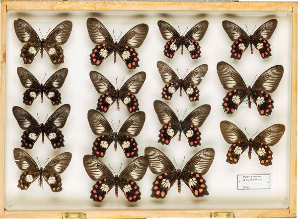 John Landy Butterflies Drawer 32 - 1