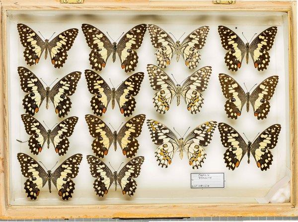 John Landy Butterflies Drawer 32 - 2