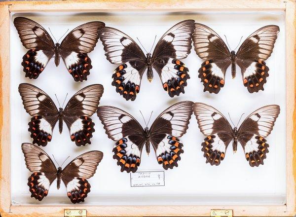 John Landy Butterflies Drawer 33 - 1
