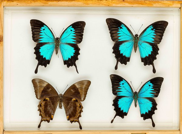 John Landy Butterflies Drawer 34 - 1