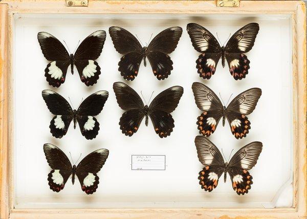 John Landy Butterflies Drawer 35 - 2
