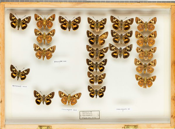 John Landy Butterflies Drawer 5 - 1