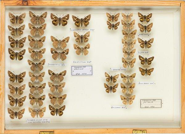 John Landy Butterflies Drawer 6 - 1