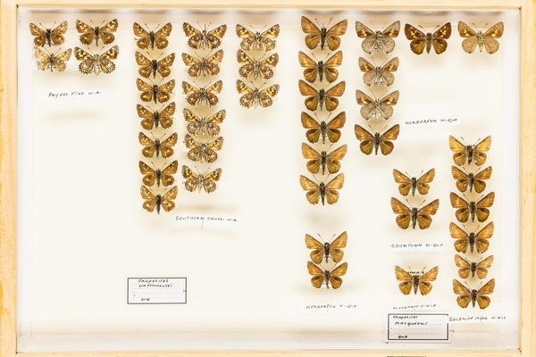 John Landy Butterflies Drawer 7 - 1