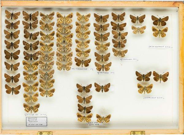 John Landy Butterflies Drawer 8 - 1