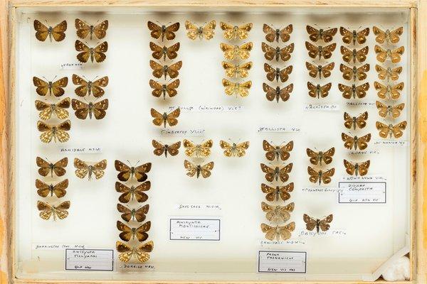 John Landy Butterflies Drawer 9 - 2