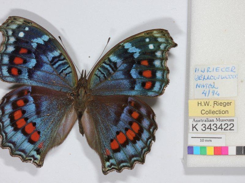 DigiVol - Butterfly - Junonia octavia sesamus
