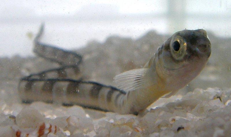 Juvenile Hairtail Blenny