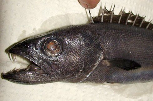 Juvenile Oilfish, <i>Ruvettus pretiosus</i>