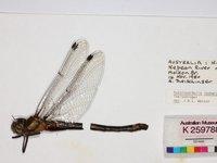 Sydney Hawk Dragonfly, Austrocordulia leonardi