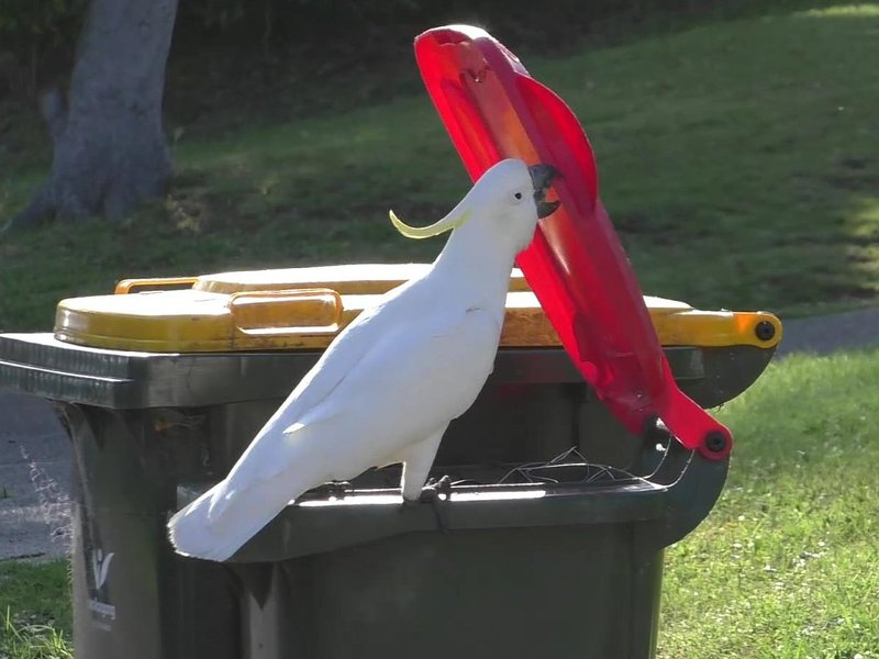 A sulphur-crested cockatoo opening the lid of a household waste bin.