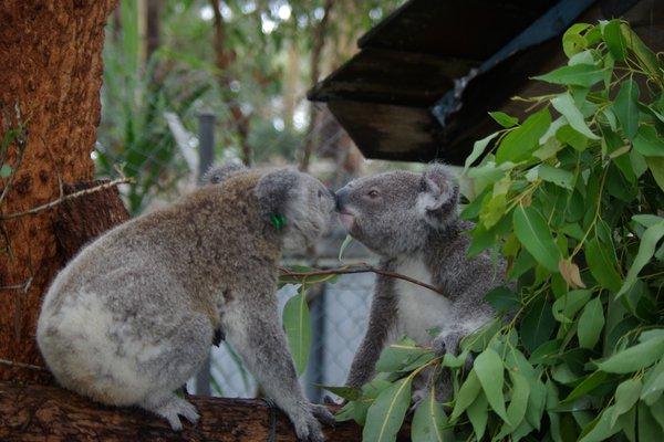 Koala Genome Announcement General shots
