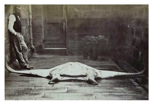 Gerard Krefft and a specimen of Ceratoptera alfredi Krefft c.1868