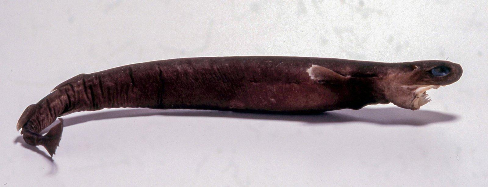 Largetooth Cookie-cutter Shark, Isistius plutodus I.28924-001