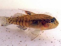 Largemouth Goby, Redigobius macrostoma