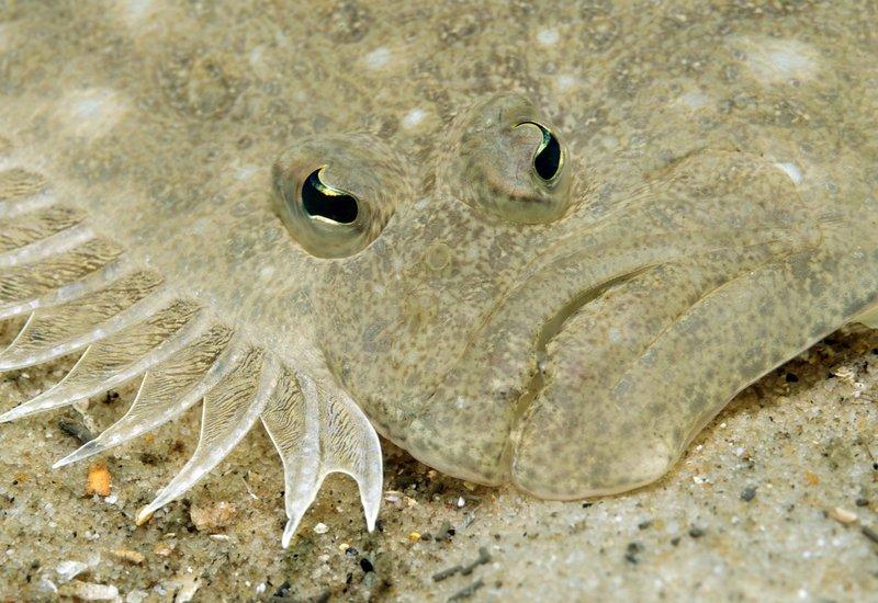 Largetooth Flounder, Pseudorhombus arsius
