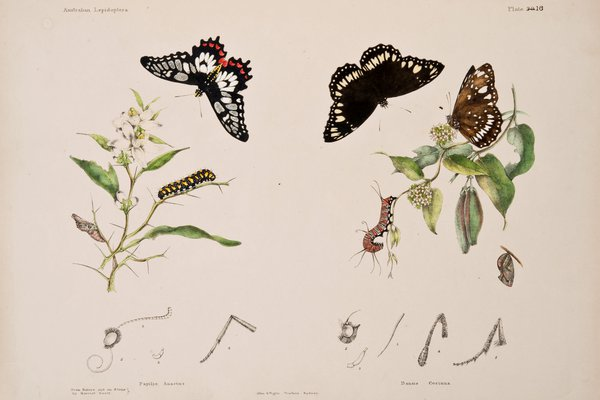 Austrailan Lepidoptera and their Transformations Volume 2, page 63