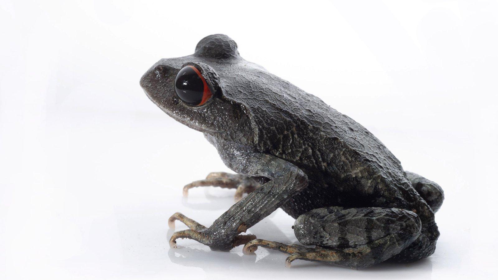 Crescent Moon Spadefoot Frog (Leptobrachium lunatum), Vietnam.