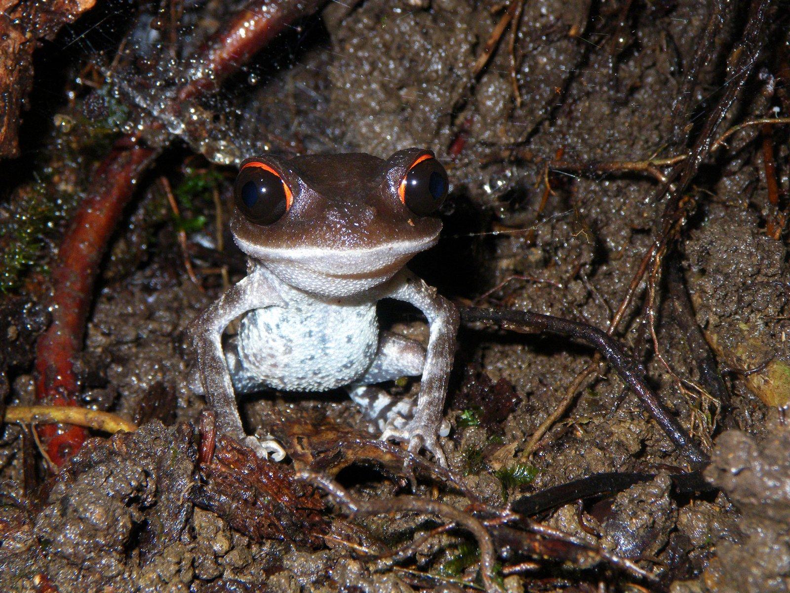 The Red-eyed Spadefoot Frog (Leptobrachium pullum).