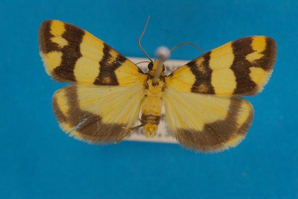 Lichen moth Termessa zonophanes